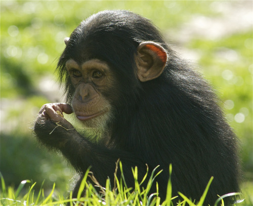 Young Chimp Grounded Over Sexting Incident Nori, an adolescent chimpanzee from the North Carolina Zoo, has been sent to her tree without dinner after her mom discovered she had been texting pictures of her butt to friends. Sources say Nori has been grounded for two weeks without phone, TV or Internet privileges. Via ucumari.