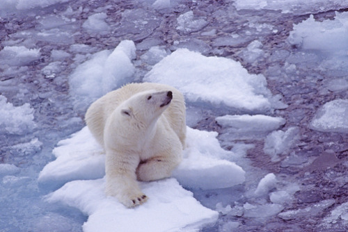 thepolarbearblog:  A polar bear (Ursus maritimus) on a small ice floe. (GORDON WILTSIE)