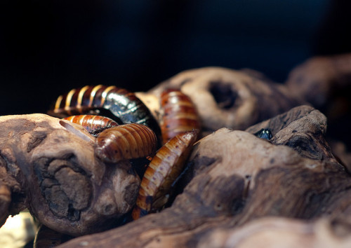 animals-animals-animals:  Madagascan Hissing Cockroach (by theprimaryjosh)