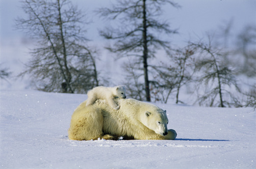 A young polar bear (Ursus maritimus) rests on the back of its mother. (NORBERT ROSING)