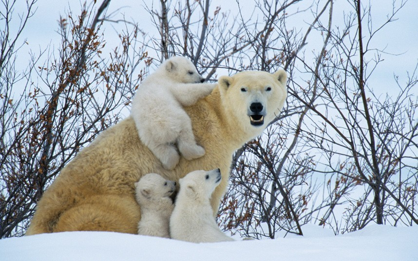 These images show the intimate relationship between polar bear mothers and their young as they emerge from their winter hibernation. Photographer Steve Bloom has spent hundreds of hours in the Arctic regions of Norway and Canada photographing polar bears. Polar bear cubs climb on their mother in Canada Picture: Steve Bloom Images Polar bears emerge from hibernation and spring into action: by Steve Bloom