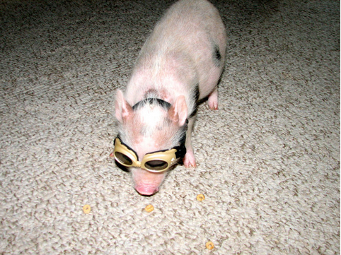 "Goggles are both a fashionable and functional accessory for a pig who wants to avoid getting dust in their eyes when scrounging around for floor-cheerios.  It's happened to all of us, and we all know how irritating it can be.  Goggles are a fun solution to the problem that plagues us all!   Also acceptable when going for a ""mad scientist"" look.   You go, Pig Coco.  You go."