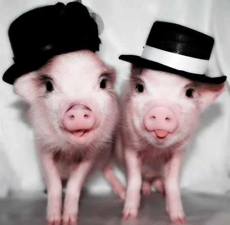"Gotta love a pig who knows how to wear a hat…  Don't let your inconveniently placed ears get in the way of your sense of style.  Be yourself.  ""Shine bright Shine far Don't be shy, be a star Where you live, where you are Be a star."" -TYRA BANKS"