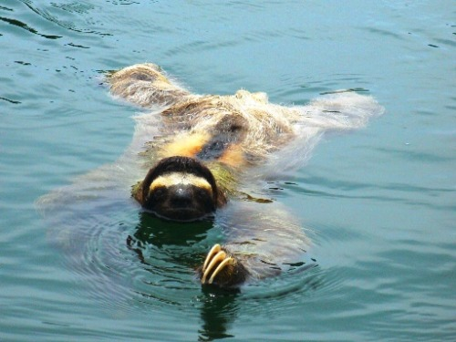 Sloth Swimming