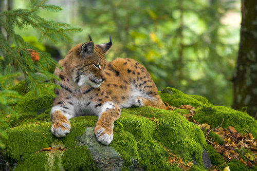 the-narwhal-orchestra:  Lynx by ~VirtualWords