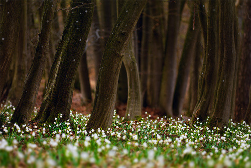 c-h-a-o-s:  leucojum forest (by stephan_amm)