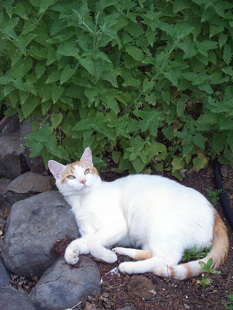 cybergata:  Bailey cat with catnip! by deadslug on Flickr.