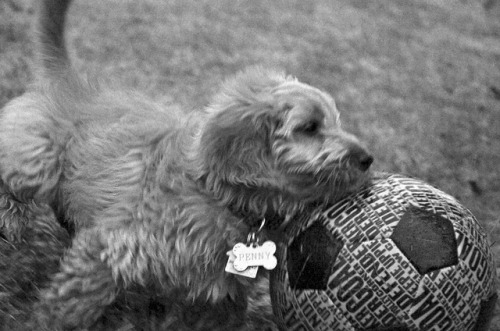 68/366: Penny playing soccer on Flickr. Via Flickr: Today Penny got very interested in the soccer ball. We have been encouraging her, but today she really got into it. Barking at the ball and pushing it around the yard. Here is a short video of it.
