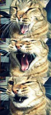 A great yawn on Flickr.Cat yawn!  This is probably a repost, but I'm spending tonight going through old pictures :)