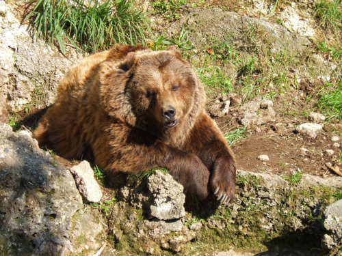 (Via Gawker) For the first time, a bear has been documented using a tool—the bear is holding a rock in his hand and rubbing the rock against his face in order to remove dead skin. Though bears are often witnessed scratching themselves against trees and boulders, this is the first documented example of a bear manipulating a freely-moving tool.