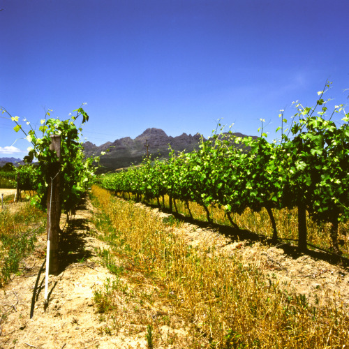 Rows of grapes at Annandale Winery, Stellenbosch. Cape Town, Western Cape, South Africa.