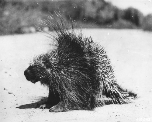 "npr:  The Porcupine Black Market Comes To Pennsylvania ""If you're familiar with porcupines, they can cause an enormous amount of damage to a rural home,"" Jerry Feaser told me. ""They literally chew through things."" Feaser works for the Pennsylvania Game Commission, which has lately been wrestling with porcupine trouble. State law lets homeowners kill animals that are causing damage to homes — provided the animals are caught in the act. ""The problem is that porcupines are nocturnal, and the [low] likelihood that someone is actually going to catch them in the act is an obstacle,"" Feaser told me. So last year, the commission created a hunting season on porcupines. They figured this would give homeowners an opportunity to kill porcupines that were causing trouble, even if they couldn't catch them red handed (red-quilled?). Then the invisible hand of the porcupine black market reached into rural Pennsylvania. -Jacob Goldstein"