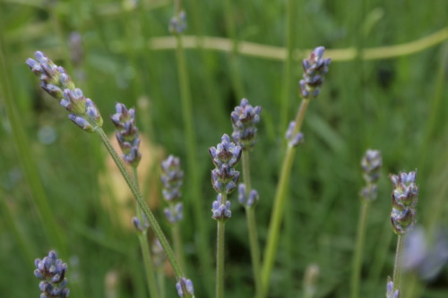 The lady's herb, English Lavender. Lavender is a wonderful sedative, put some of it in your pillowcase for sound sleep, or steep it in hot water for a calming tea. Again, one of my photos, Wolfson College Gardens, Cambridge University, UK.