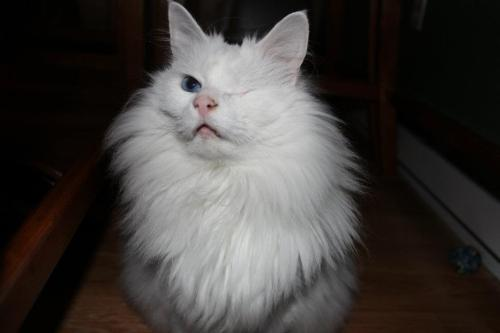 fuckyeahcats:  This is Cueball. He's blind, deaf, and only has one eye…..He rocks.