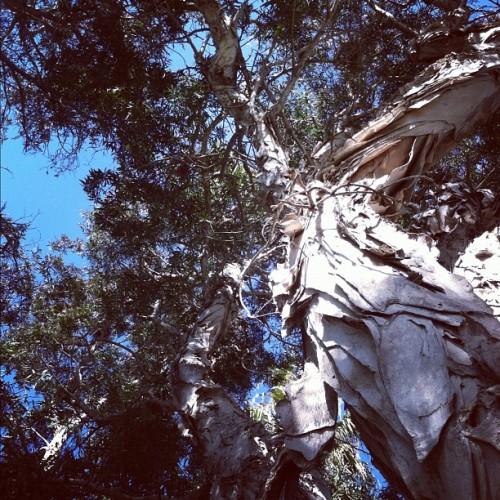 huge #tree  (Taken with instagram)