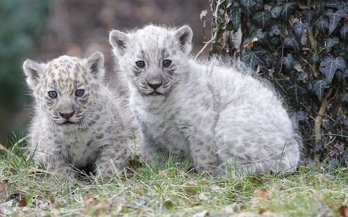 allcreatures:  A German zoo is celebrating after the birth of two rare white jaguar cubs. The twins were born at Aschersleben Zoo on 19th January and have recently ventured out into the world for the first time. Their father Mescal has a typical spotty coat, and 13-year-old mother Polly is jet black. The youngsters are currently white with pale grey markings, but it is not known how their colour will change as they continue to grow. Picture: Action Press / Rex Features