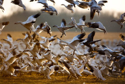 A 3,000-strong flock of snow geese take off from the Middle Creek reservoir near Kleinfeltersville, Pennsylvania. The geese stop there to feed on marsh grass before continuing their migration north to their breeding grounds in the Canadian Arctic Photograph: Jim Lo Scalzo/EPA