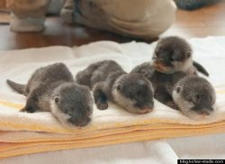 It's Friday — time for a baby otter pile!