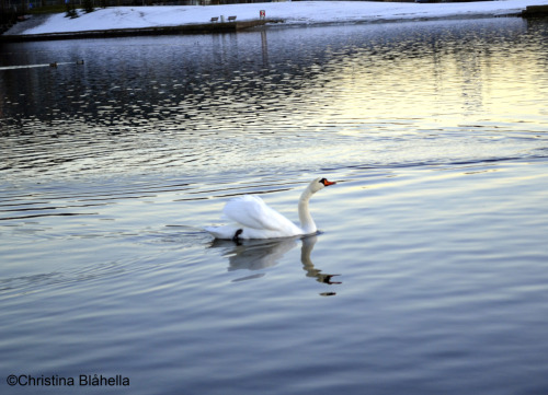 A beatiful swan i found in Drammen lately ♥