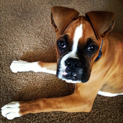 This dork's ears crack me up. #boxer #boxerclub #puppy #dogstagram  (Taken with instagram)