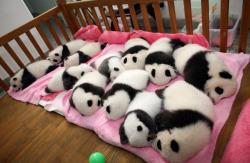 12 giant panda cubs lie in a crib at the Chengdu Research Base in China. (Reuters / China Daily)
