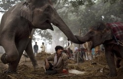 A 7-year-old female elephant named Laxmi reaches with her trunk to touch her 13-month old daughter in India. (AP / Kevin Frayer)