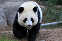 fuckyeahgiantpanda:  Po at the Atlanta Zoo on March 4, 2012. © SmileyBears.