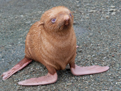 This little orange seal has been ostracized by his fellows for being ginger. Also, unfortunately, he is almost blind. He was found waiting for his mother under a log on Tyuleniy Island in Russia. He was picked up and taken by staff at a dolphinarium to keep him from anymore emotional stress. Good news though, the seal is doing much better. Now named Nafanya - after a lookalike Soviet cartoon character - the seal was given VIP treatment and has now moved into a plush new home at the country's leading aquarium. Via: theuniblog.evilspacerobot.com