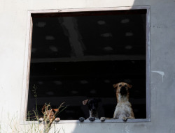 Abandoned dogs look through the window of a flooded temple in Ayutthaya province in Thailand. (Reuters / Chaiwat Subprasom )