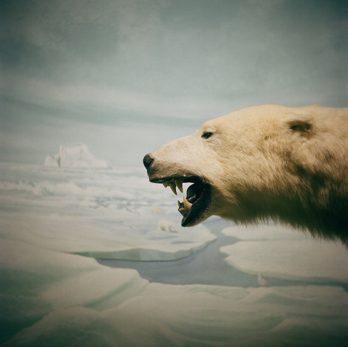 soundthat:  polar bear by dothezonk