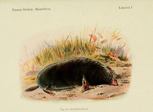 biomedicalephemera:  Talpa occidentalis - Spanish Mole Fauna Iberica: Mamiferos. Angel Cabrera, 1914.