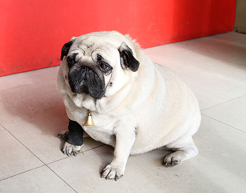 The Pug Blog: soooooooooo Fat