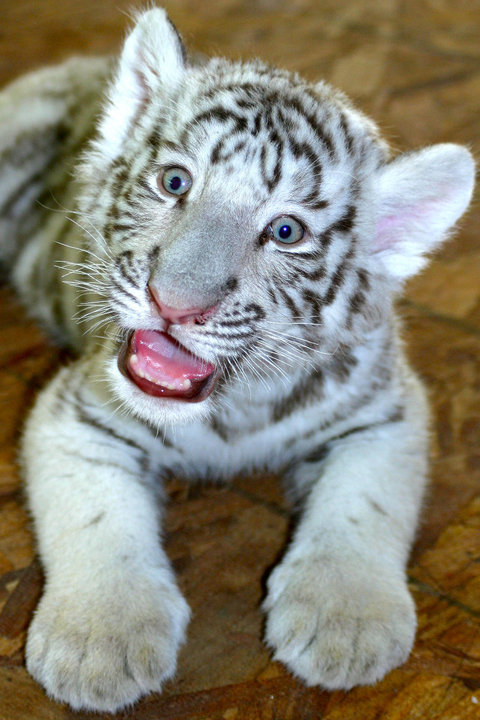 PIC OF THE DAY: Baby White Tiger Cub