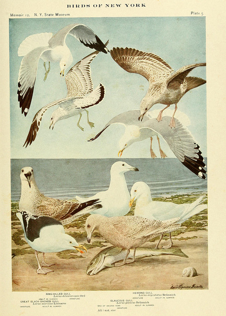 rhamphotheca:  dendroica:  Gulls by BioDivLibrary on Flickr from Birds of New York, University of the State of New York, 1910-14. biodiversitylibrary.org/page/14746639