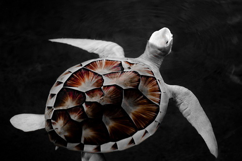 Snow White Turtle. By: Rameez Sadikot It is kept in captivity, because without camouflage it would not survive in the wild.