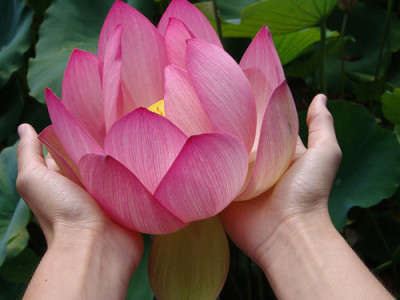 "culturedwind:  ""As a lotus flower is born in water, grows in water and rises out of water to stand above it unsoiled, so I, born in the world, raised in the world having overcome the world, live unsoiled by the world"" —Buddha"