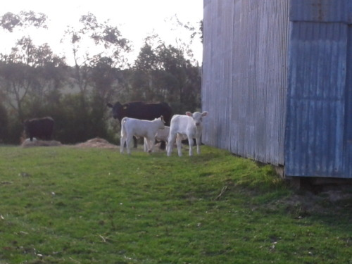 Stalking little baby cows, PWAH, SO CUTE