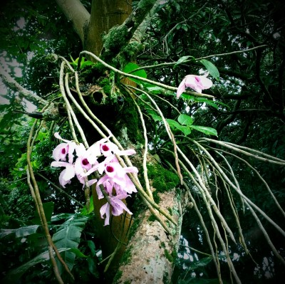 Orchids growing on a tree in my backyard. Reminds me of the film Adaptation..