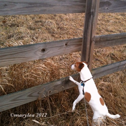 We go exploring. March 7, 2012. #jrt #2012 #March #dog #jackrussell #parsonrussell #terrier #field #fence #walk #morning #mlm #maryleafaves  (Taken with instagram)
