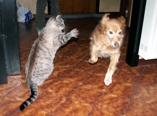 "thefluffingtonpost:  Area Dog Disses Cat, Ignores High-Five Request In a move that many analysts fear will inflame the already tense relations between cats and dogs, a local pooch ran right by a cat late Friday evening without acknowledging her request for a high-five. Witnesses say the cat was merely congratulating the dog on a successful fifth lap around the house. ""It was friendly — good natured,"" says Bob Wang, who saw the incident go down. ""The dog just blew by her. It was cold, man."" Via Mauro.  Oooh that's harsh."