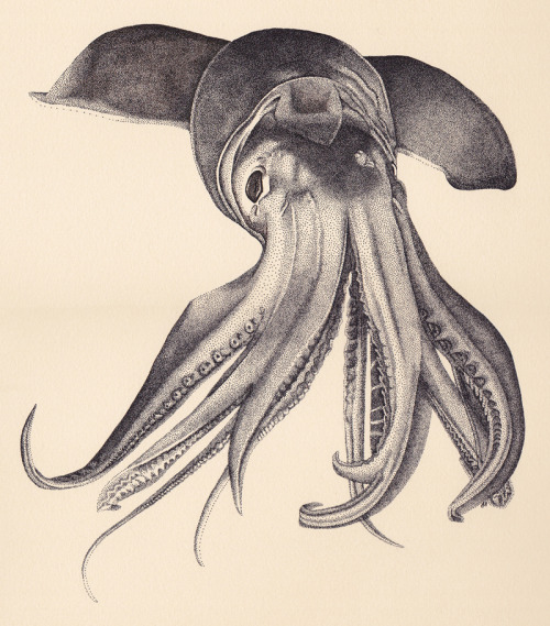 laurahines:  Finished!Humboldt Squid - Pen and Ink