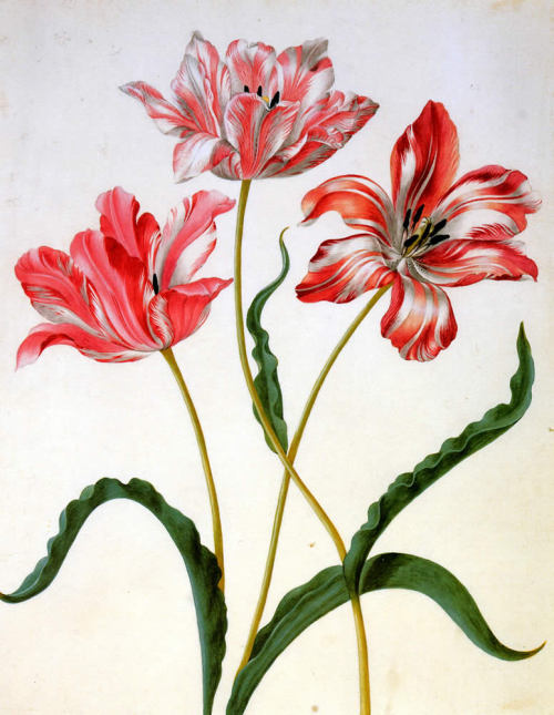 Three Tulips. Maria Sibylla Merian (1647-1717), daughter of the famous engraver and publisher Matthaeus Merian, born in Frankfurt, (Germany).