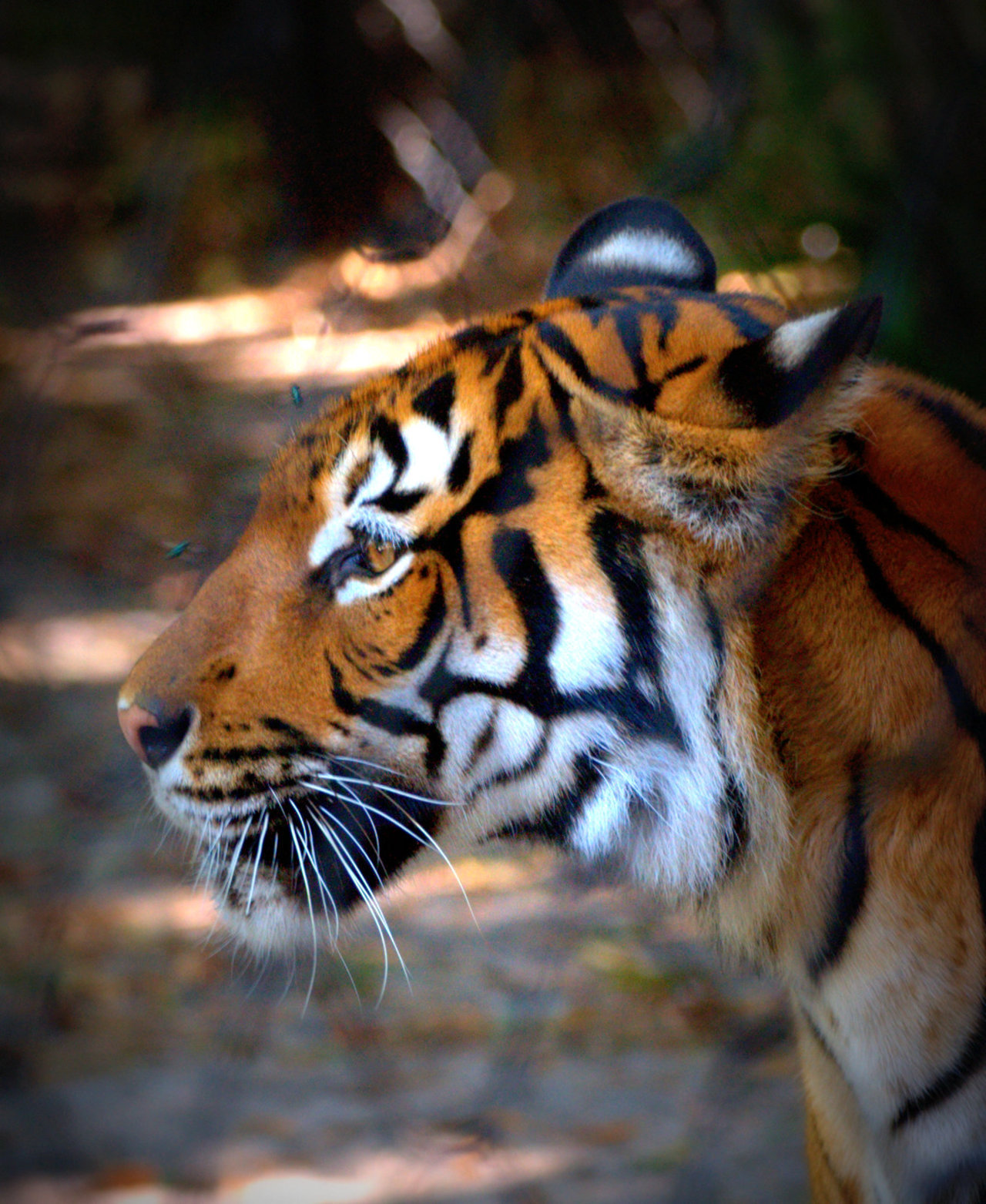 Can you tell I love taking photos of tigers?  :)
