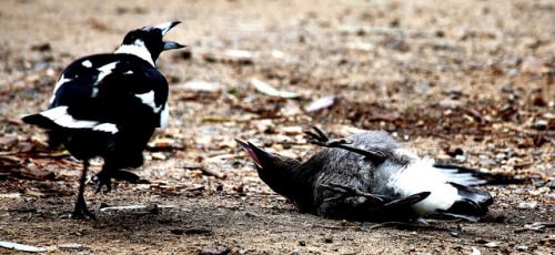 'The Tantrum' by  ADS3630 on Flickr.  via Flickr: This baby Magpie was following his mum around demanding to be fed, but she wouldn't give in. He flipped onto his back and threw a full tantrum, which she tried to ignore. Eventually she came over and gave him a peck, and he got back to his feet and started behaving. I'm sure I've seen a similar scene at the supermarket before!