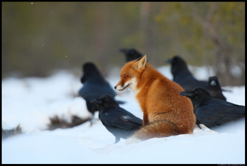 animalia:  Submitted by eccentricspaces: Red Fox and Ravens by Remo Savisaar.  It's a fox surrounded by MURDER