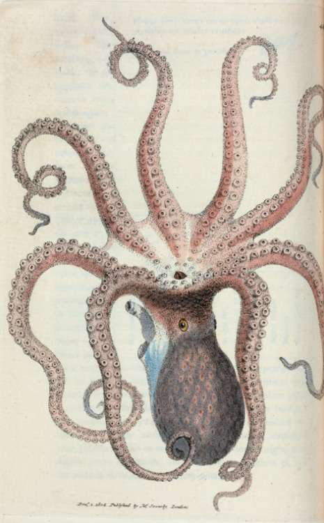 compendium-of-beasts:  Sepia octopus. (Eight-armed Cuttle-fish) [Class 6. Vermes; Order 2. Mollusca] [1804-1806]  via NYPL