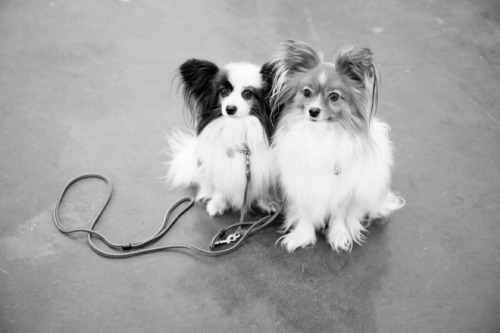 Crufts 2012 Photo by Claire Maxwell