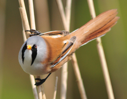 fat-birds:  bearded tit by roundy8 on Flickr.  Wow what an awesome animal *_* those colors, that pattern it looks like KISS meets Wreck-Gar meets bird beautdorable