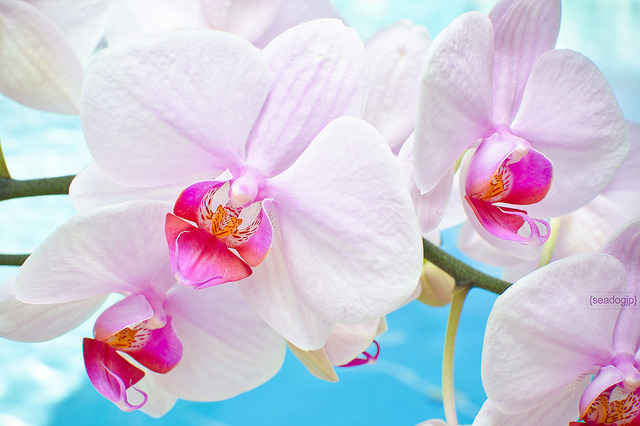 White & Pink Orchids by seadogjp on Flickr.