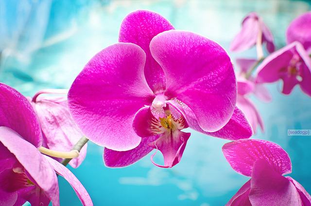 Pink Orchids by seadogjp on Flickr.My husband took this shot